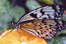 В краеведческий музей Тольятти привезут живых экзотических бабочек