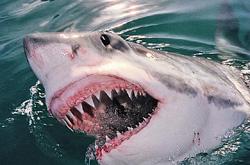 В Австралии  серфингист отбился от большой белой акулы