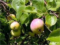 Аллергологи рекомендуют тольяттинцам отказаться от яблок и ждать дождя